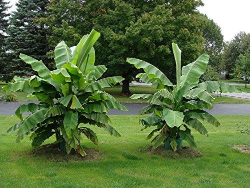 winterharte Banane Musa Basjoo Banane - sehr schneller Wuchs